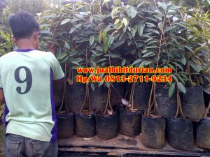 HpWa 0813-2711-9234, Jual Bibit Durian Medan H. Tovix (3)