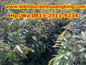 HpWa 0813-2711-9234, Jual Bibit Durian Yogyakarta H. Tovix.jpg (7)
