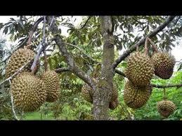 pohon durian bokor