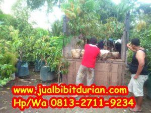 HpWa 0813-2711-9234, Bibit Durian Bawor Lumajang H. Tovix (3)