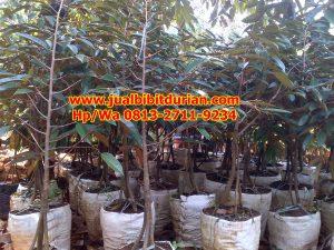 HpWa 0813-2711-9234, Bibit Durian Bawor Madiun H. Tovix (10)