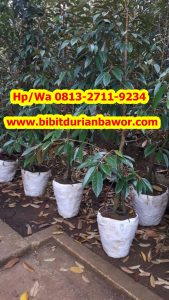 HpWa 0813-2711-9234, Bibit Durian Bawor Surabaya H. Tovix (11)