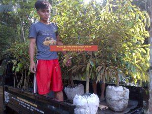 HpWa 0813-2711-9234, Bibit Durian Montong Blitar H. Tovix (4)