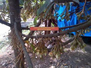 HpWa 0813-2711-9234, Bibit Durian Montong Blitar H. Tovix (5)