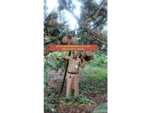 HpWa 0813-2711-9234, Bibit Durian Montong Blitar H. Tovix (6)