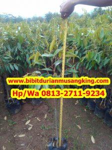 HpWa 0813-2711-9234, Bibit Durian Musang King Gresik H. Tovix (4)