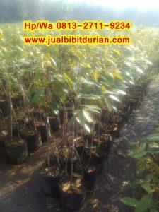 HpWa 0813-2711-9234, Bibit Durian Musang King Medan H. Tovix