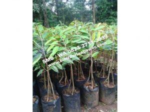 HpWa 0813-2711-9234, Bibit Durian Unggul Banyuwangi H. Tovix