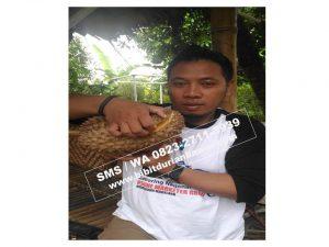 HpWa 0813-2711-9234, Jual Bibit Durian Bawor Kebumen H. Tovix (2)