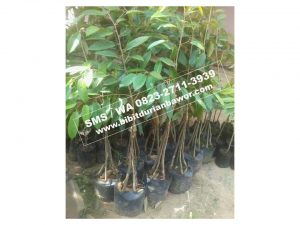 HpWa 0813-2711-9234, Jual Bibit Durian Bawor Kebumen H. Tovix (4)