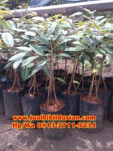 HpWa 0813-2711-9234, Jual Bibit Durian Bawor Kebumen H. Tovix (7)