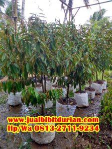 HpWa 0813-2711-9234, Jual Bibit Durian Dongkelan Kulon Progo H. Tovix (2)