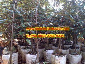 HpWa 0813-2711-9234, Jual Bibit Durian Dongkelan Kulon Progo H. Tovix (3)