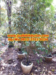 HpWa 0813-2711-9234, Jual Bibit Durian Dongkelan Kulon Progo H. Tovix (7)