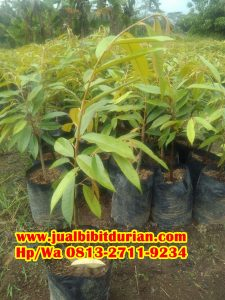 HpWa 0813-2711-9234, Jual Bibit Durian Montong, Bibit Durian Kaki 3, Mahakam Ulu H. Tovix.jpg