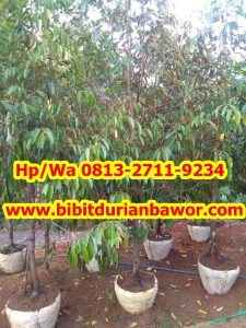 HpWa 0813-2711-9234, Jual Bibit Durian Solo H. Tovix (4)