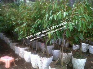 Wa 0813-2711-9234, Agen Durian Bawor, Budidaya Durian Bawor