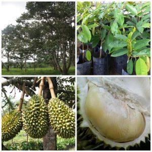 durian namlung