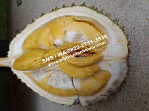 wasap.my6281327119234InfoBibitDurianMusangKing