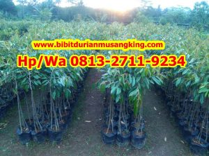 HPWA 0813-2711-9234, BIBIT DURIAN MAGELANG H. TOVIX (4) - Copy