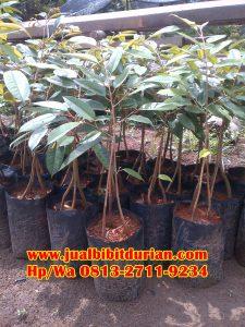 HpWa 0813-2711-9234, Bibit Durian Bawor Lumajang H. Tovix (4)