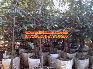 HpWa 0813-2711-9234, Bibit Durian Bawor Madiun H. Tovix (4)