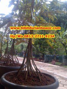 HpWa 0813-2711-9234, Bibit Durian Bawor Medan H. Tovix (3)