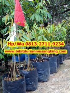 HpWa 0813-2711-9234, Bibit Durian Musang King Kaki 3 Jombang H. Tovix (3) - Copy