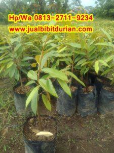 HpWa 0813-2711-9234, Bibit Durian Musang King Medan H. Tovix (2)