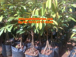 HpWa 0813-2711-9234, Jual Bibit Durian Bawor Kebumen H. Tovix (10)