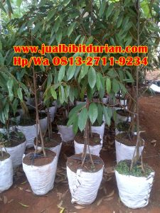 MURAH..!! HpWa 0813-2711-9234, Jual Bibit Durian Jember H. Tovix.jpg (2)