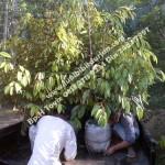 Bibit Durian Bawor Murah, www.jualbibitdurian.com, 0813 2711 9234