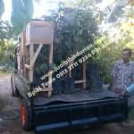 bibitdurianbawormalang, Bp.H Ismail 0813 2711 9234