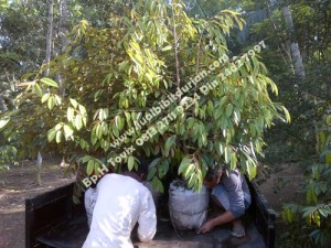 Bibit Durian Bawor, www.jualbibitdurian.com, 0813 2711 9234