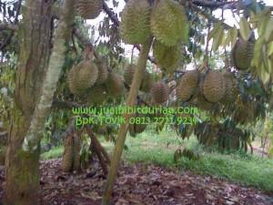 Durian Bawor Bpk Tovik 0823 2711 3939