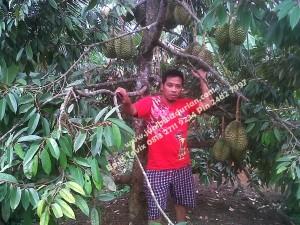 Pohon Durian Bawor Cepat Berbuah Bp.H Tovix 0813 2711 9234