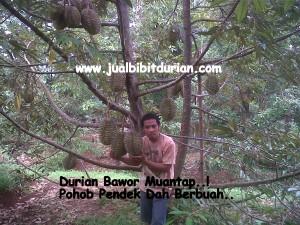 Durian Bhinneka Bawor, www.jualbibitdurian.com, Bpk. TOvix 0813 2711 9234
