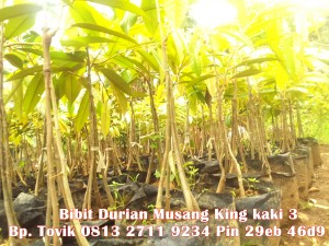 Bibit Durian Musang King, Durian Musang King www.bibitdurianmusangking.com