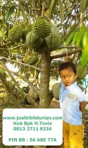 jualbibitdurian, durian musangking, durian montong bawor, durian bawor banyumas, pohon durian bawor