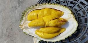 Durian Musang King, durian raja kunyit, durian d197. www.bibitdurianmusangking.com