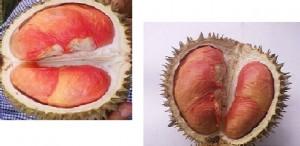 durian merah, harga durian merah, jual bibit durian merah