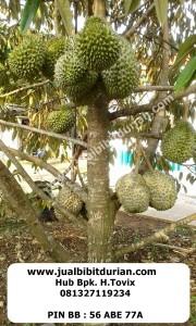 jualbibitdurian, durian musangking, durian bawor
