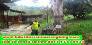 harga-bibit-durian-musang-king-kaki-tiga-bibit-durian-musang-king-bogor-beli-bibit-durian-musang-king