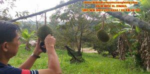 bibit-durian-musang-king-bogor-beli-bibit-durian-musang-king-jual-bibit-durian-musang-king-bogor-bibit-buah-durian-musang-king