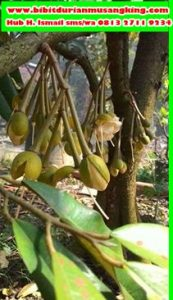 bibit-durian-musang-king-di-medan-bibit-durian-musang-king-di-jakarta-benih-durian-musang-king-di-johor-2