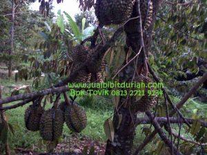 Durian Bawor Bpk. Tovik 0823 2711 3939