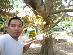 Bibit Durian Bawor Berbuah