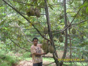 durian bawor banyumas, www.jualbibitdurain.com