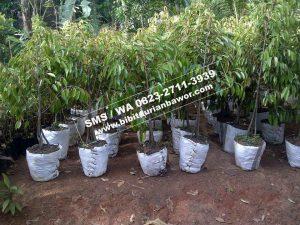 Bibit Durian Bawor kemranjen