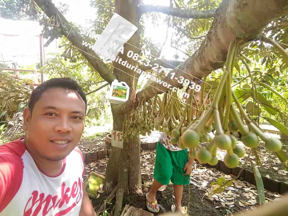 Durian Bawor, pohon durian bawor, jual bibit durian bawor, bibit durian bawor murah